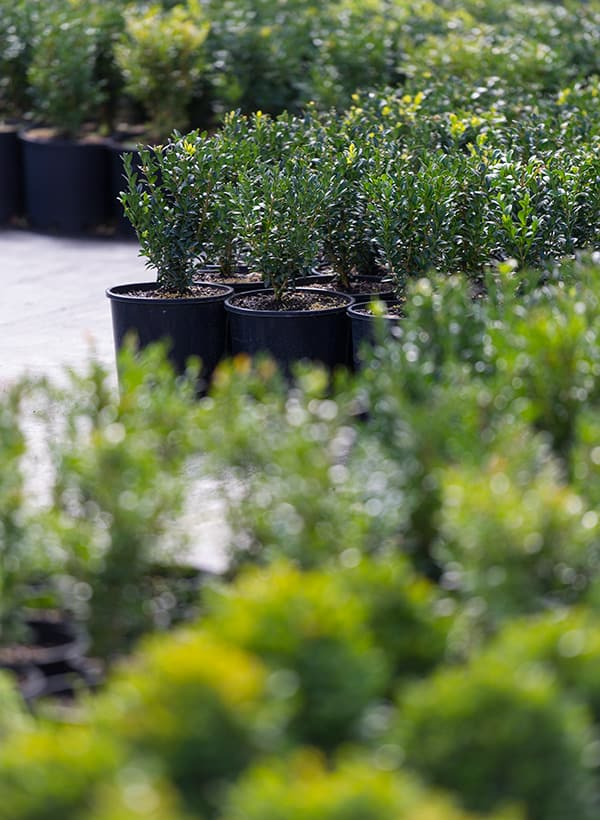 screening + hedging plants